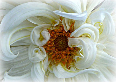 Photograph - White Dahlia by Debra Collins
