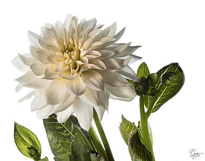 Photograph - White Dahlia by Endre Balogh