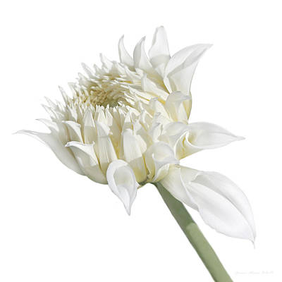 Photograph - White Dahlia Flower In The Beginning by Jennie Marie Schell