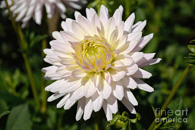 White Dahlia Flower Art Print