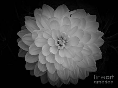 Photograph - White Dahlia In Bw by Chalet Roome-Rigdon