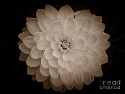 Photograph - White Dahlia In Sepia by Chalet Roome-Rigdon