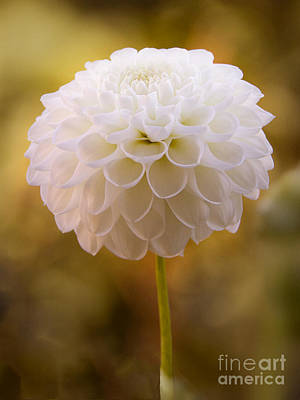 Photograph - White Dahlia by Lutz Baar