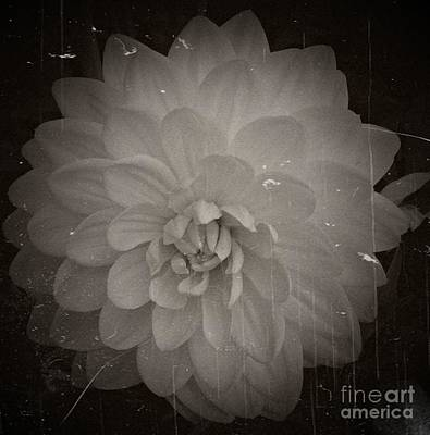 Aster Mixed Media - White Dahlia Processed 2 by Chalet Roome-Rigdon