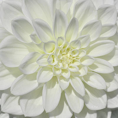 Photograph - White Dahlia Square by Tikvah's Hope