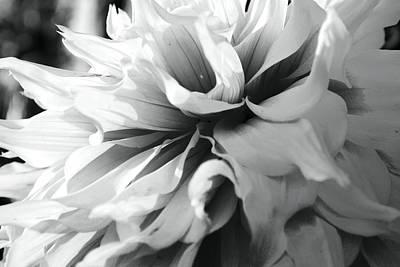 Photograph - White Dahlia by Sumit Mehndiratta