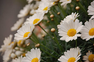 Photograph - White Daisies by Dany Lison