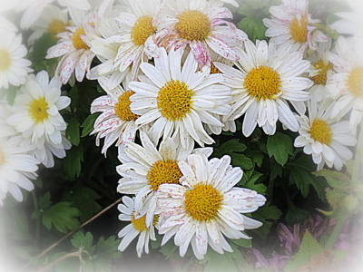 Photograph - White Daisies by Kay Novy