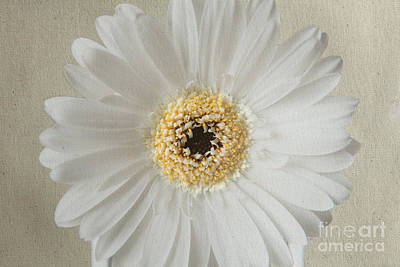 Photograph - White Daisy 2 by Eden Baed