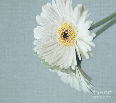 Photograph - White Daisy 3 by Eden Baed