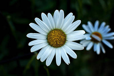 Photograph - White Daisy At Riverside Park by Bill Swartwout