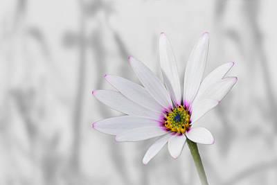 Photograph - White Daisy Bush by Veli Bariskan