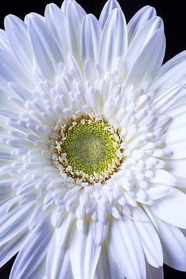 Gerbera Daisy Photograph - White Daisy Close Up by Garry Gay