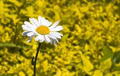 White Daisy In Yellow Garden Art Print