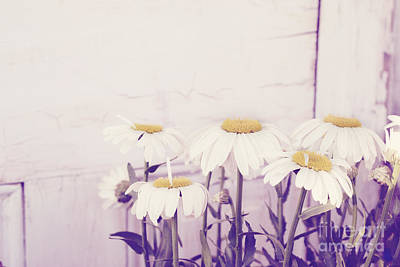 Photograph - White Daisy Mums by Cindy Garber Iverson