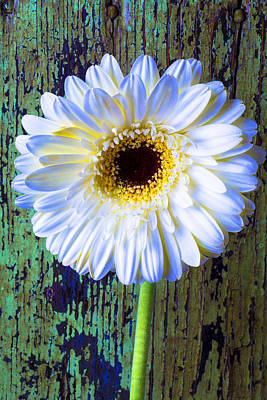 Chip Photograph - White Daisy With Green Wall by Garry Gay