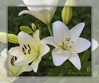 Photograph - White Daylilies by Walter Herrit