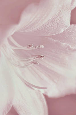 Photograph - White Daylily Flower Soft Pink by Jennie Marie Schell