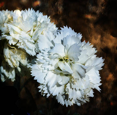 Photograph - White Dianthus by Deena Stoddard