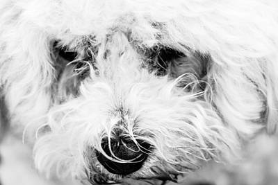 Photograph - White Dog by Ben Graham