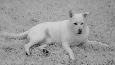 Photograph - White Dog In Ir by Guy Whiteley