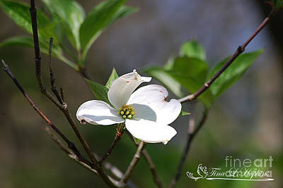 Photograph - White Dogwood 20120419_233a by Tina Hopkins