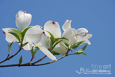 Photograph - White Dogwood 20120419_35a by Tina Hopkins