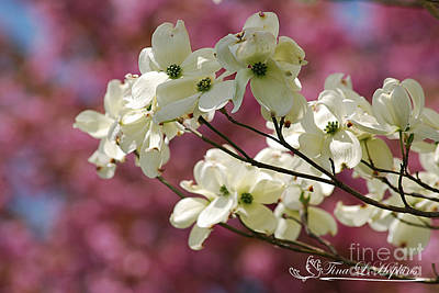 Photograph - White Dogwood 20120419_64a by Tina Hopkins