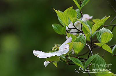 Photograph - White Dogwood 20120420_143a by Tina Hopkins