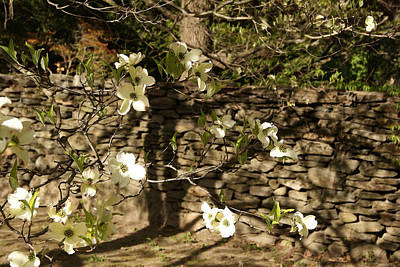 Photograph - White Dogwood At The Stone Wall by Margie Avellino