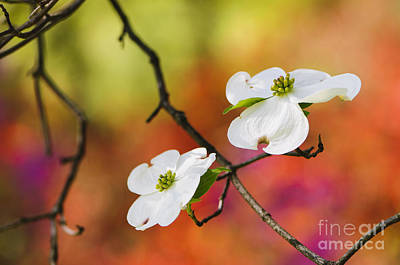 Dogwood Photograph - White Dogwood Blossoms  by Oscar Gutierrez