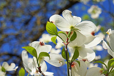 White Dogwood Flower Blossoms Art Prints Art Print