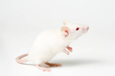 White Domestic Mouse Art Print