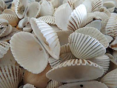 Photograph - White Double Ark Shells by Ellen Meakin