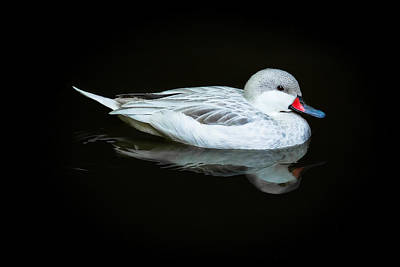 White Duck Art Print