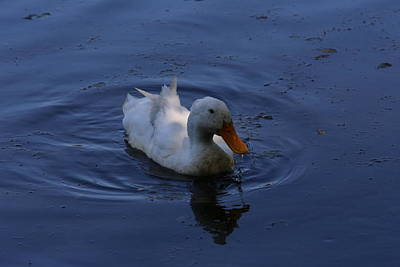 Photograph - White Duck by Mustafa Abdullah
