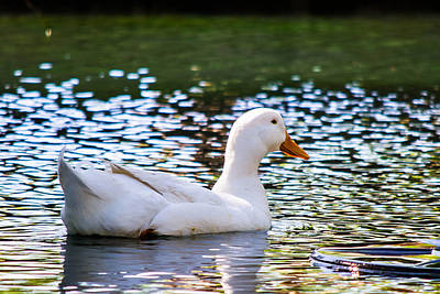 Photograph - White Duck by Nathan Hillis
