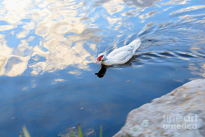 Photograph - White Duck On White Clouds by Kaye Menner