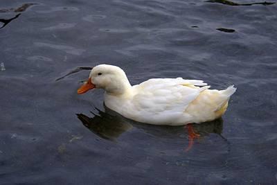 Splashing Etc Photograph - White Duck by Rob Luzier