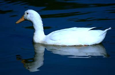 Photograph - White Duck Swimming by Phoenix De Vries