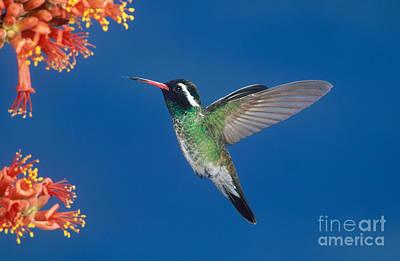 Photograph - White-eared Hummingbird by Anthony Mercieca