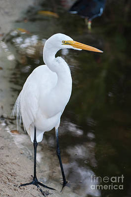 Photograph - White Egret by Bianca Nadeau