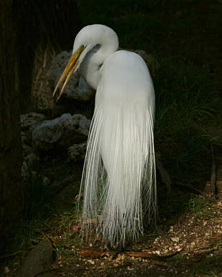 Art Print featuring the photograph White Egret In The Shadows by Myrna Bradshaw