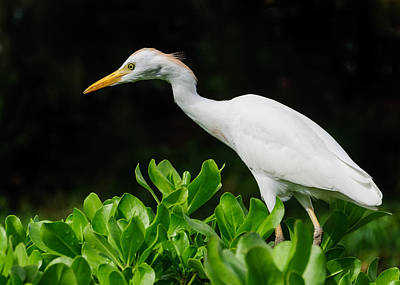 Photograph - White Egret by John Johnson