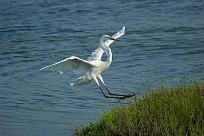White Egret Landing 2 Art Print by Ernie Echols