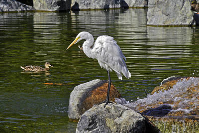 Photograph - White Egret On Rock by SC Heffner
