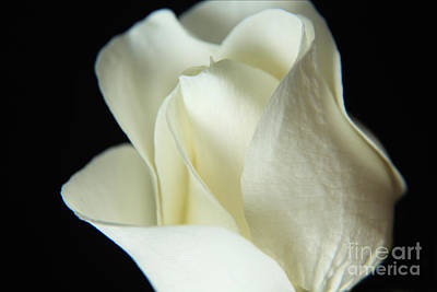 Photograph - White Elegant Rose by Eden Baed