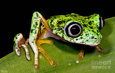 Photograph - White-eyed Leaf Frog by Dante Fenolio