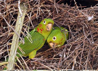 White-eyed Parakeets Nesting Art Print by Science Photo Library