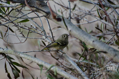 White-eyed Vireo Art Print by Donna Brown